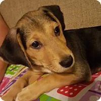 Beagle/Dachshund Mix Puppy for adoption in Plainfield, Illinois - Sniper