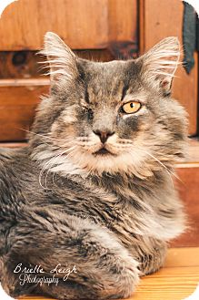 Domestic Mediumhair Cat for adoption in Brimfield, Massachusetts - Meow