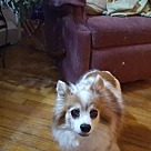 Adopt A Pet :: Patches (Papillon) Maine
