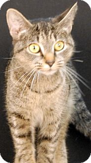 Domestic Shorthair Cat for adoption in Newland, North Carolina - Charcoal