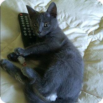 Domestic Shorthair Cat for adoption in Kohler, Wisconsin - Sterling