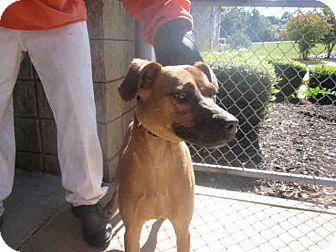 Black Mouth Cur Mix Dog for adoption in Newnan City, Georgia - Spice