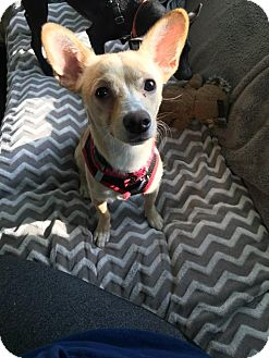 Chihuahua Dog for adoption in Washington, D.C. - Sadie (Has Application)