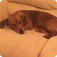 Dachshund/Spaniel (Unknown Type) Mix Dog for adoption in Alpharetta, Georgia - Brittni