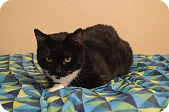 Domestic Shorthair Cat for adoption in Las Vegas, Nevada - Electra