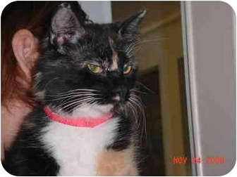 Calico Cat for adoption in Pendleton, Oregon - Sophia
