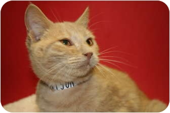 Domestic Shorthair Kitten for adoption in SILVER SPRING, Maryland - TOBY