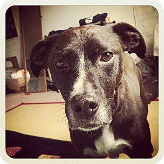 Pointer/Terrier (Unknown Type, Medium) Mix Dog for adoption in Chewelah, Washington - Emmitt