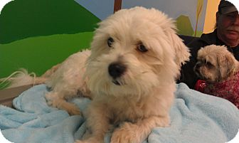 Westie, West Highland White Terrier/Shih Tzu Mix Dog for adoption in New Windsor, New York - Skippy