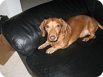 Dachshund Dog for adoption in Millersville, Maryland - Beamer