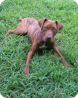 Plott Hound/Labrador Retriever Mix Dog for adoption in Acushnet, Massachusetts - Truffles