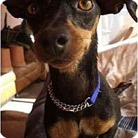 Adopt A Pet :: Fallon - Phoenix, AZ