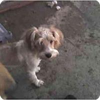 Adopt A Pet :: Scruffette - Fowler, CA