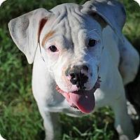 Adopt A Pet :: Annabelle - Austin, TX