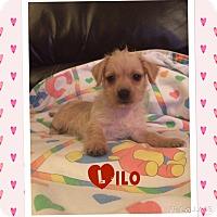 Adopt A Pet :: Lilo - Brea, CA