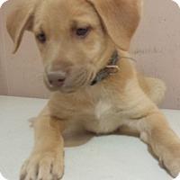 Adopt A Pet :: Cody  AD 06-11-16 - Preston, CT
