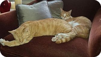 Domestic Mediumhair Kitten for adoption in Manhattan, New York - Chester and Banjo