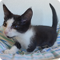 Domestic Shorthair Kitten for adoption in Manning, South Carolina - Halo