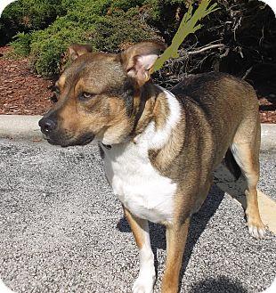 German Shepherd Dog/Collie Mix Dog for adoption in Evergreen Park, Illinois - Simon