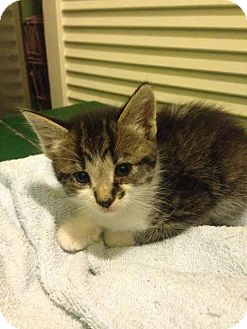 Domestic Shorthair Kitten for adoption in Asheboro, North Carolina - Mystic
