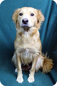 Golden Retriever/Shepherd (Unknown Type) Mix Dog for adoption in Westminster, Colorado - MARIANA