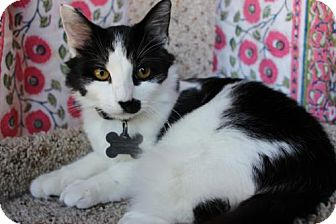 Domestic Longhair Kitten for adoption in Corona, California - Elijah