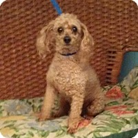 Adopt A Pet :: Petey - Tulsa, OK