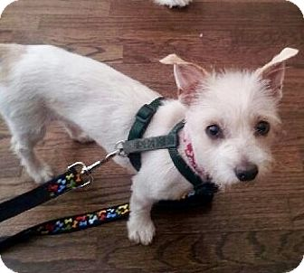 Westie, West Highland White Terrier/Maltese Mix Dog for adoption in Beverly Hills, California - MISSY
