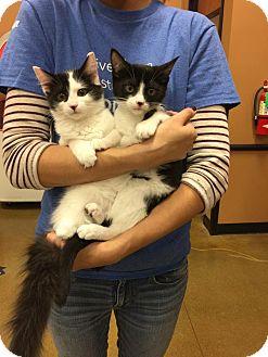 Maine Coon Kitten for adoption in Rocklin, California - Valerie