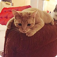 Domestic Shorthair Cat for adoption in Vancouver, British Columbia - Nala