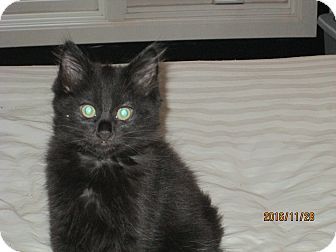 Domestic Longhair Kitten for adoption in Jeffersonville, Indiana - Darby