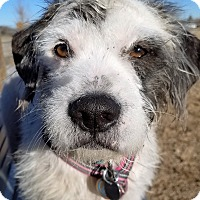 Norfolk Terrier Mix Dog for adoption in Fort Collins, Colorado - Trigger