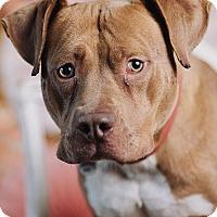 Adopt A Pet :: Kaluah - Portland, OR