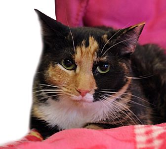 Calico Cat for adoption in Wayne, New Jersey - Argentina