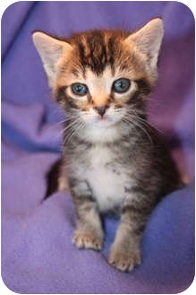 Domestic Shorthair Kitten for adoption in Union, Kentucky - Minet