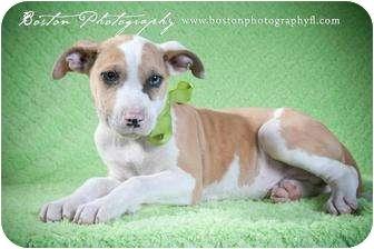 Catahoula Leopard Dog/English Bulldog Mix Puppy for adoption in Callahan, Florida - Cypress