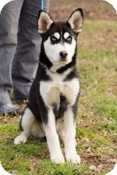 Husky Puppy for adoption in Alpharetta, Georgia - Ellie