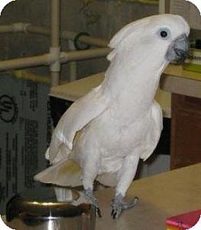 Cockatoo for adoption in Northbrook, Illinois - Jasper