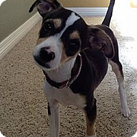 Adopt A Pet :: Boomer - Broomfield, CO