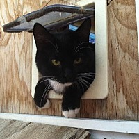 Domestic Shorthair Cat for adoption in Sherman Oaks, California - Kia - FeLV+