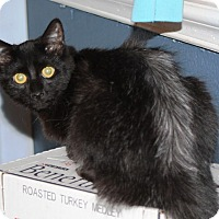 Domestic Shorthair Kitten for adoption in Tampa, Florida - Larissa