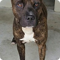Pit Bull Terrier/Pit Bull Terrier Mix Dog for adoption in Maryville, Tennessee - Ty