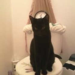 Photo 3 - Domestic Shorthair Cat for adoption in Medford, New Jersey - Boo Boo Kitty