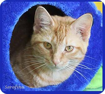 Domestic Shorthair Cat for adoption in South Bend, Indiana - Sarafina