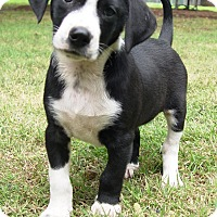 Adopt A Pet :: Boxer Boy - Glastonbury, CT