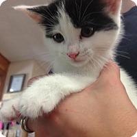 Domestic Shorthair Kitten for adoption in Cashiers, North Carolina - Cyrus