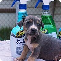 Adopt A Pet :: Zep - Greensboro, NC