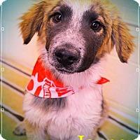 Adopt A Pet :: JAYNE - SO CUTE! - Chandler, AZ