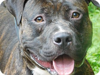 American Pit Bull Terrier Dog for adoption in Millerstown, Pennsylvania - UMAR