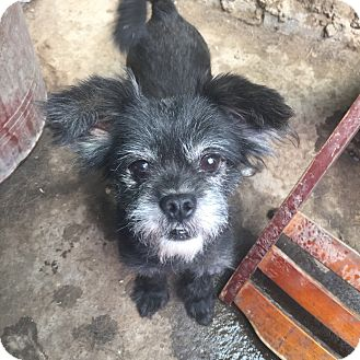 Terrier (Unknown Type, Small) Mix Dog for adoption in Oakton, Virginia - Blackie